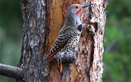 Preview wallpaper Woodpecker, tree