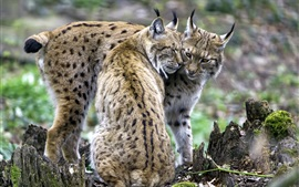 Preview wallpaper A pair of lynxes, feelings