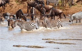Preview wallpaper Africa wildlife, zebra, crocodile, herd, pond