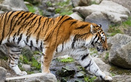 Preview wallpaper Amur tiger walking, stones
