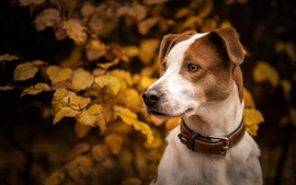 Preview wallpaper Autumn, dog, leaves, head