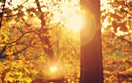 Preview wallpaper Autumn, forest, trees, glare sun rays