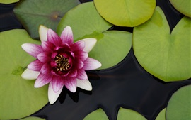 Beautiful water lily, pink white petals flower, green leaves, water
