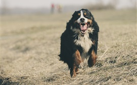 Bernese mountain dog runs