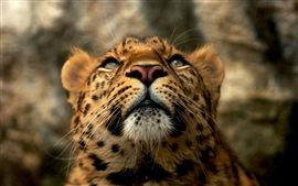 Preview wallpaper Big cat, leopard, face, predator