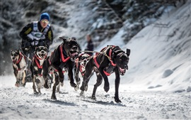 Black dogs runs, snow