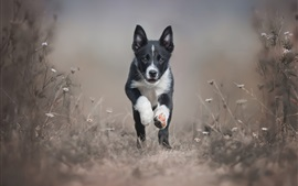 Black puppy, border collie, runs