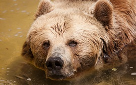 Preview wallpaper Brown bear in water, head, face