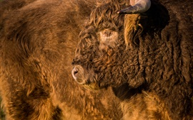 Preview wallpaper Buffalo furry fur, face, head