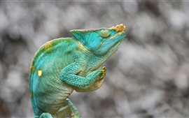 Preview wallpaper Chameleon, green lizard, blurry background