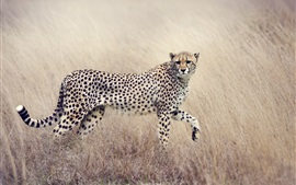Preview wallpaper Cheetah, look back, predator, spotted, grass