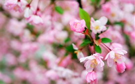 Cherry flowers macro photography, flowering, spring