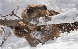Cute beaver gnawing tree, winter, snow