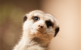 Preview wallpaper Cute meerkat look at you, face