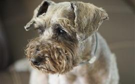 Симпатичный пудель собаки