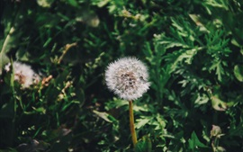 Preview wallpaper Dandelion flower close-up, green grass