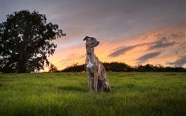 Cão, sentar, capim, árvores, pôr do sol