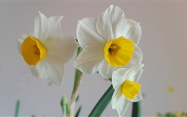 Preview wallpaper Family flowers, white daffodils