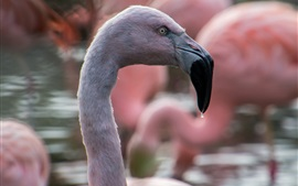 Preview wallpaper Flamingo close-up, head, beak