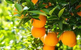 Fruta, árvore, laranjas, folhas