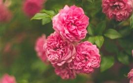 Садовые цветы, розовые розы