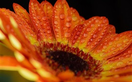 Gerbera macro fotografia, laranja pétalas, gotas de água