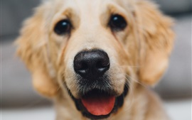 Golden retriever close-up, perro, cara, nariz