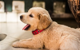 Preview wallpaper Golden retriever, cute puppy rest