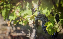 Preview wallpaper Grapes, foliage, vineyard, fruit