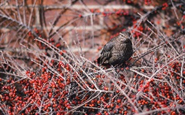 Preview wallpaper Gray feather bird, twigs, red berries