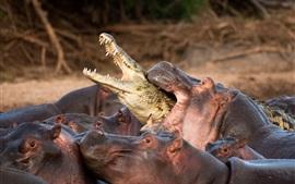 Os hipopótamos atacam o crocodilo