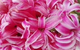 Preview wallpaper Hyacinth flowers, pink petals macro photography