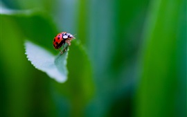 Preview wallpaper Insect, ladybug, green background