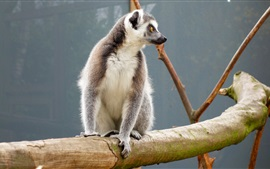 Preview wallpaper Lemur sitting at tree branch