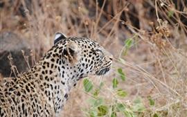 Leopardo, vista posterior, gato grande, hierba