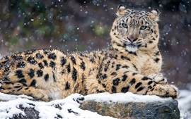 Preview wallpaper Leopard in the winter, snow, wildlife