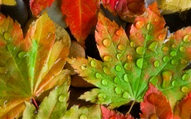Maple leaves close-up, water droplets, stones