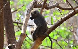 預覽桌布 在樹上的猴子