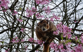 Preview wallpaper Monkey, tree, pink cherry flowers, spring
