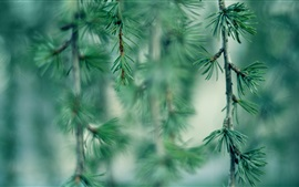 Preview wallpaper Needles, tree branches