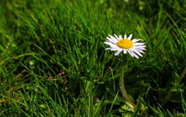Preview wallpaper One daisy, white flower, green grass