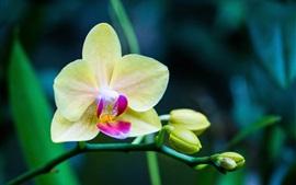 미리보기 배경 화면 난초, 노란색 phalaenopsis