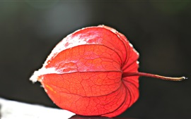 Physalis plant photography, red fruit