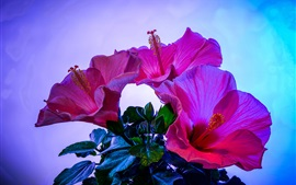 Preview wallpaper Pink hibiscus flowers close-up, blue background