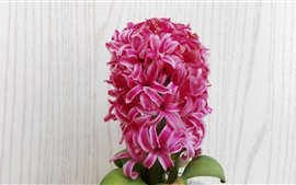 Preview wallpaper Pink hyacinth flowers, family flowers