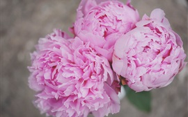 Preview wallpaper Pink peonies close-up, flowers, petals