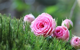 Preview wallpaper Pink rose, flowers, bouquet