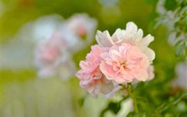 Розовые розы, лепестки, бутоны, боке