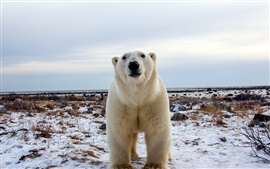 Polar bear, face, front view, snow