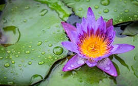 Purple petals water lily, leaves, water droplets